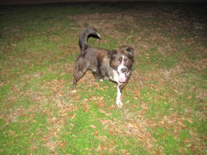 picture of our athletic dog with one leg missing