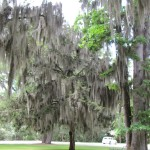 oak tree covered in spanish moss