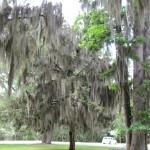 oak tree covered in spanish moss