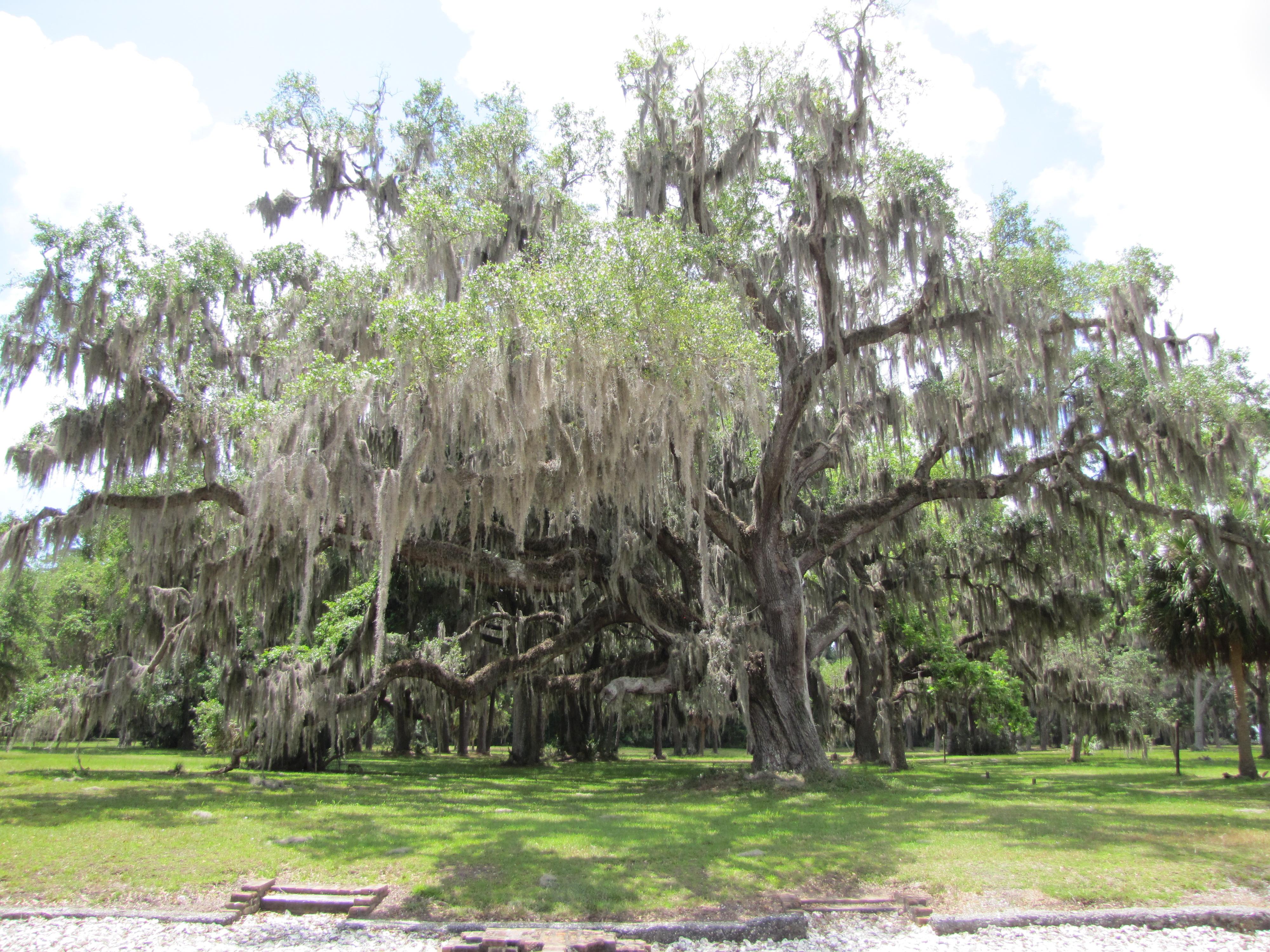 photograph of ancient oak