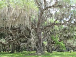 photograph of ancient oak tree