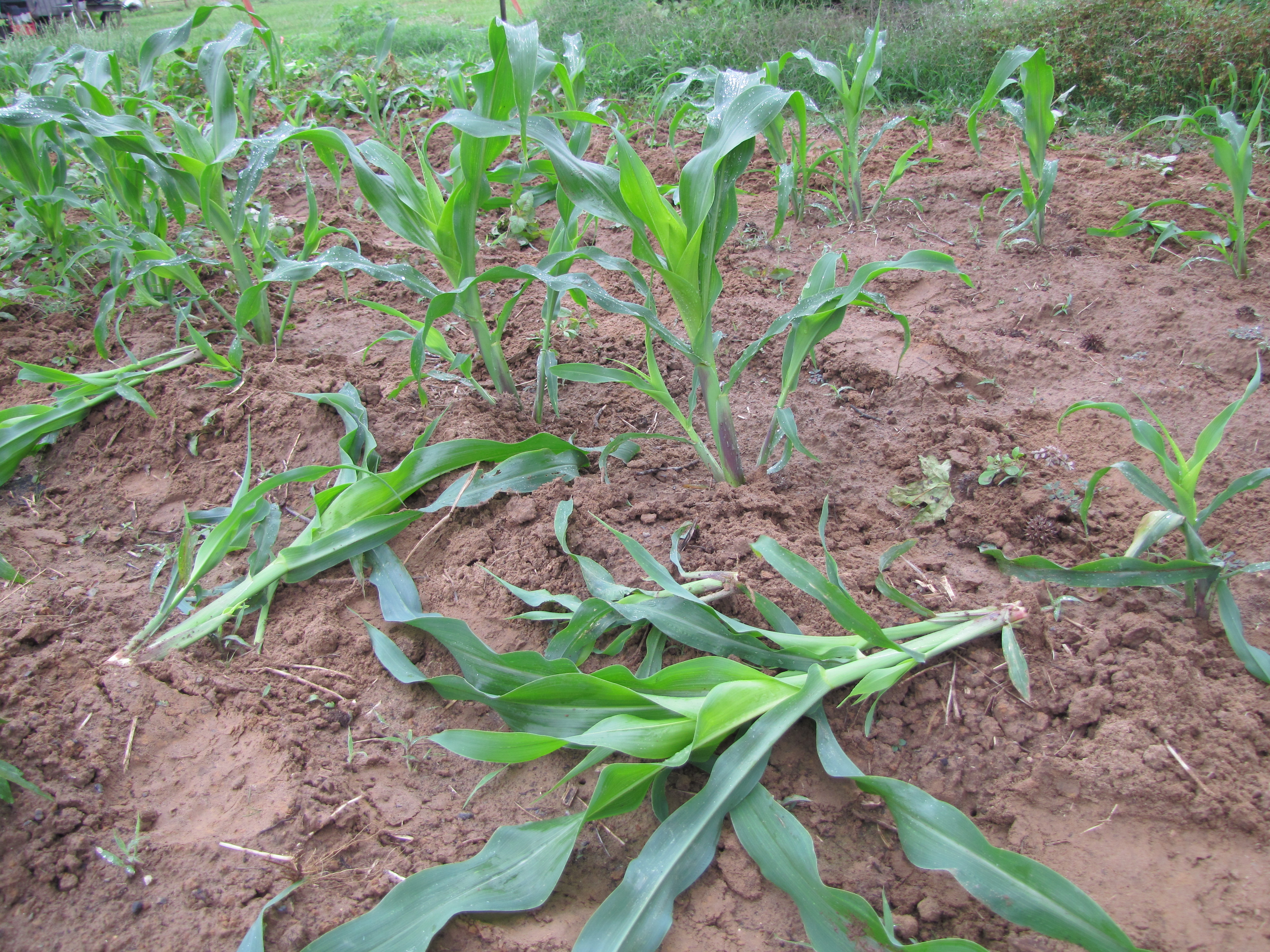 picture of corn row after hoeing and thinning