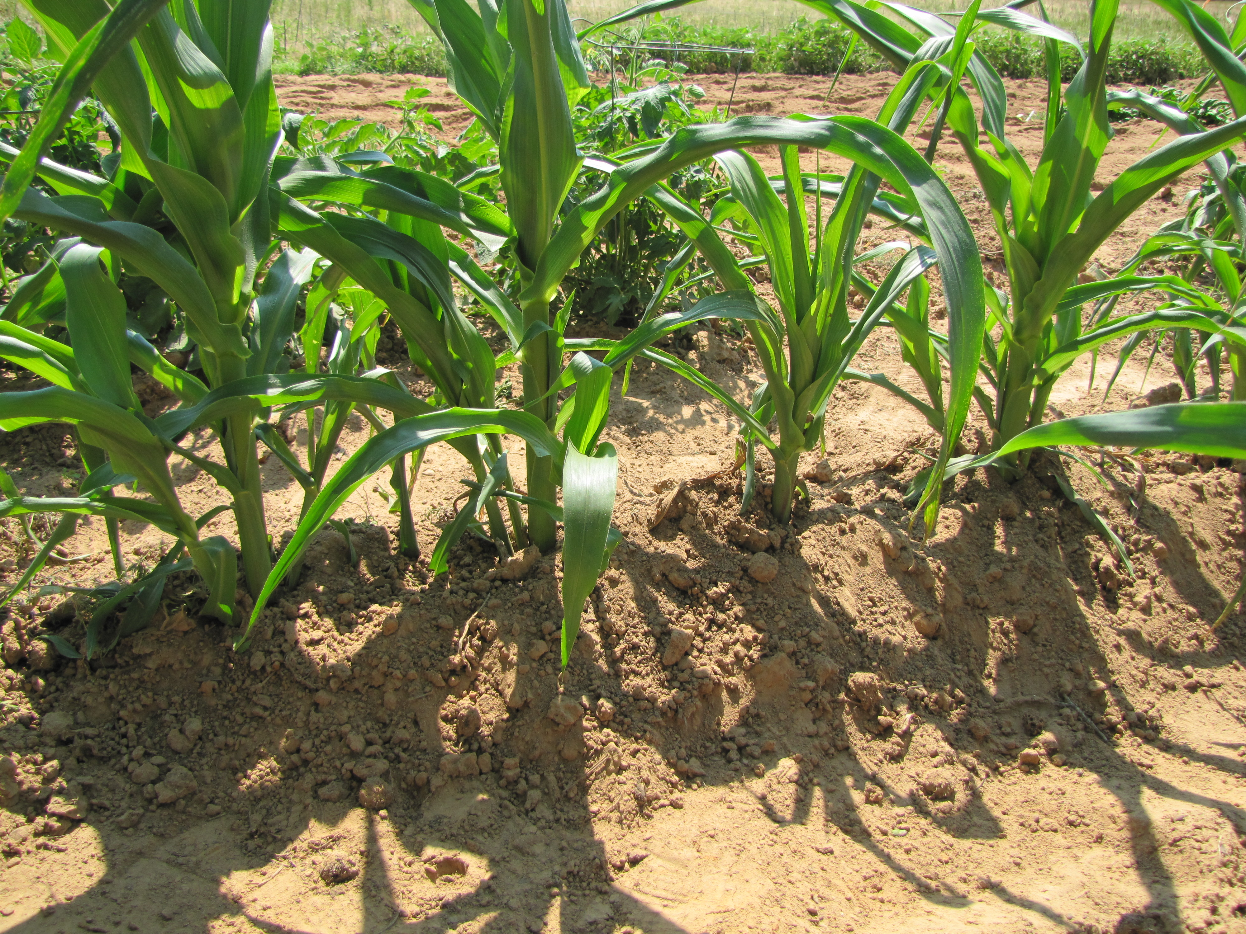 soil pulled up around corn plants