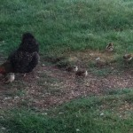 mother hen with chicks